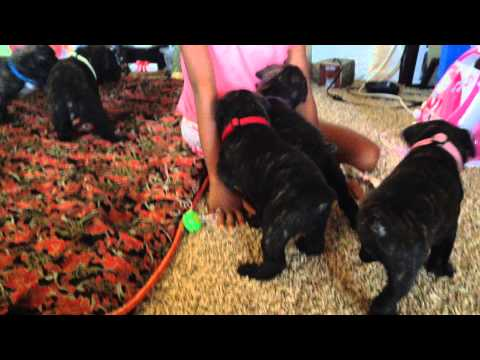 leatherneckcanecorso puppies