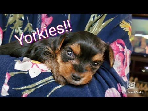 Cutest Yorkies