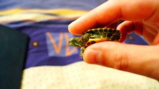 красноухие черепахи! обзор!