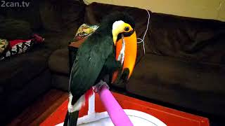 Toucan Scratching Her Bill in Slow Motion is Weirdly Mesmerizing