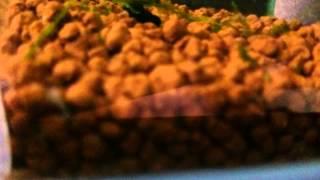 悲報レッドビーシュリンプの水槽に謎の生命体出現キモ過ぎ!