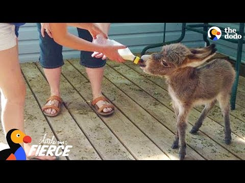 World's Tiniest Donkey Loves Pranking His Mom – TINY TIM | The Dodo Little But Fierce