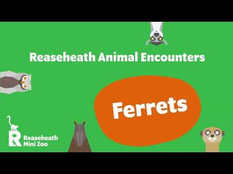, title : 'Reaseheath Mini Zoo Animal Encounters - Ferrets