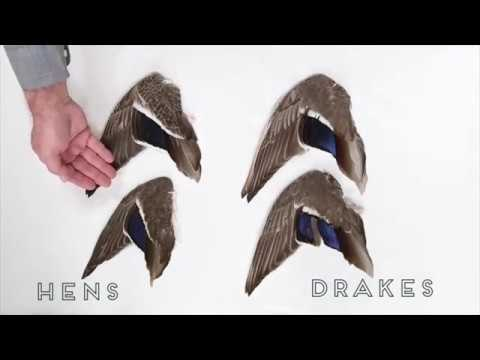 , title : 'Duck Identification: Mallards
