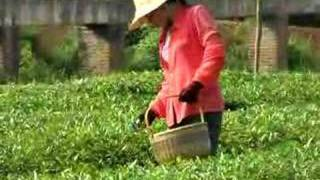 preview picture of video 'Tea Picker in China'