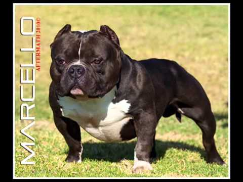 Karate Kid American Bully Other amazing Exotic Bullies
