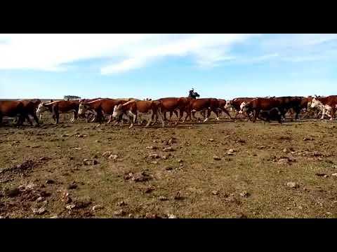Imagen 350 Vacas de Invernada en Albisu, Salto