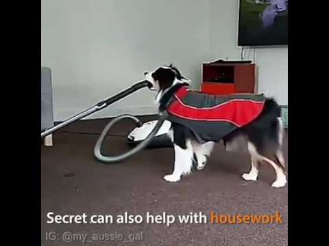Super Talented Dog Doing Yoga And Household Chores
