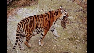 Тигрята в парке Тайган Крым