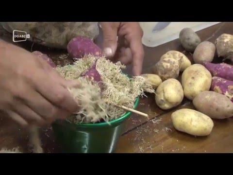 Saiba como fazer nascer raiz em batata; veja vídeo instrutivo