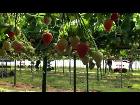 Βρετανία: Ο COVID-19 και η παραγωγή φρούτων