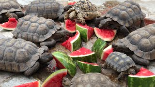 Tortoise's eating watermelon