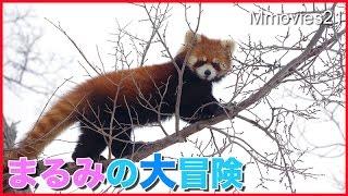 大木に登る!初めての大冒険レッサーパンダ円実RedPandaAdventure