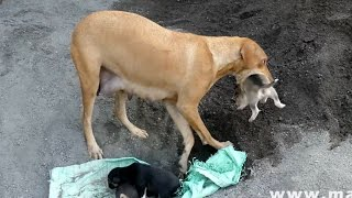 Download Youtube: Dog Saves Newborn Puppies |  CUTE PUPPIES