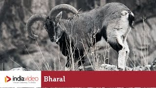 Bharal - the goat-antelope of Himalayas