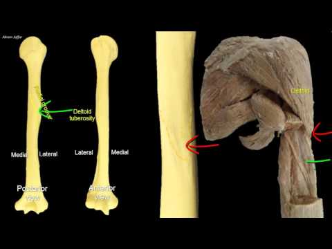Osteologia - kość ramienna