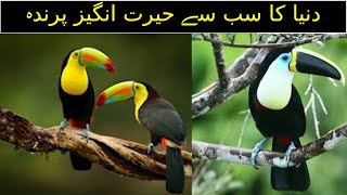 The world's most amazing bird/Toucan