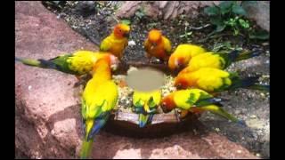 YELLOW BIRD~(Goombay Dance Band)