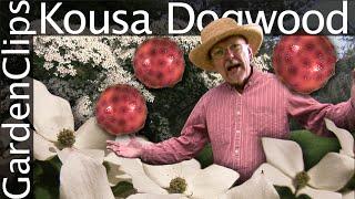 Kousa Dogwood - Cornus Kousa - Korean Dogwood - Japanese Dogwood - Chinese Dogwood