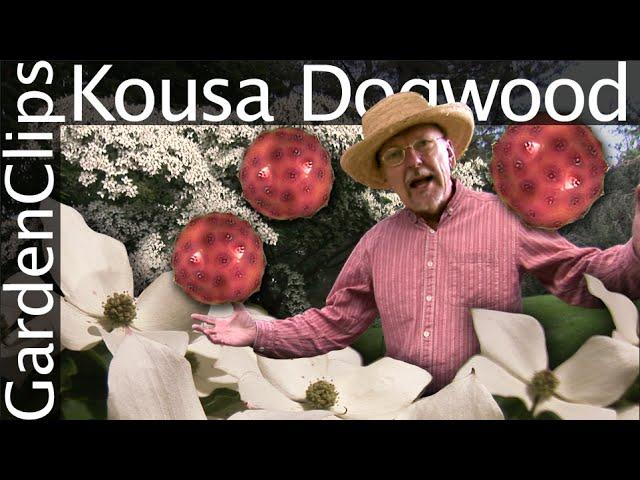 Kousa-dogwood-cornus-kousa
