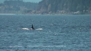 Puget Sound killer whales: T68s+, T101s, T124As - Apr 21, 2017 (HD)