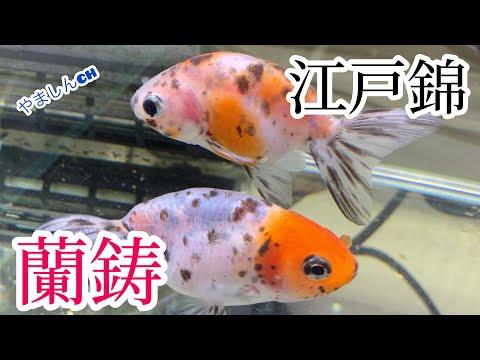 【金魚水槽】江戸錦.白蘭鋳.頂点眼…最後におまけ😆 可愛いピンクのベタちゃん