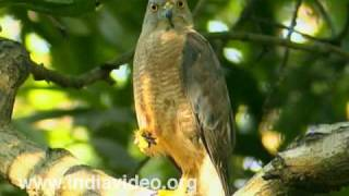 A common hawk - Shikra