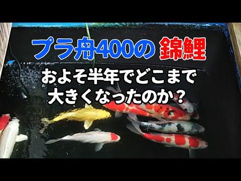 錦鯉飼育 プラ舟400Lでどれくらい成長したのか