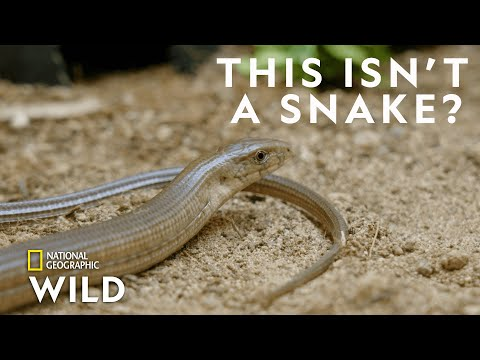 What's a Sheltopusik  | Secrets of the Zoo: Down Under