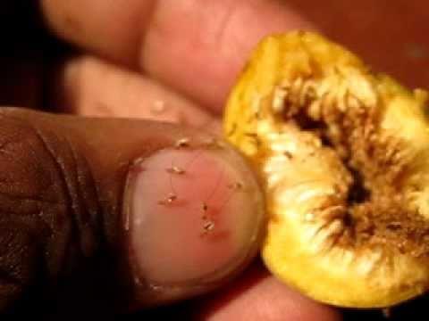 Intohis ng parasites presyo sa parmasya