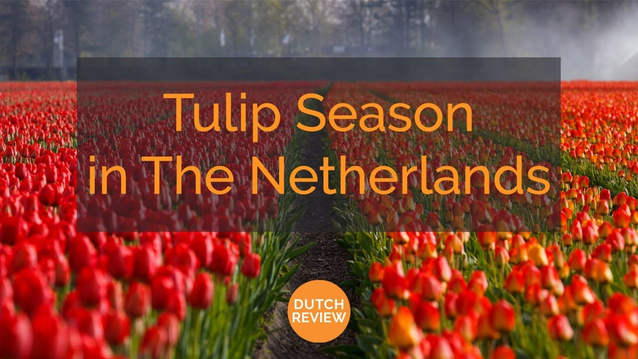 The Dutch and Tulips: How did Tulips in the Netherlands become a ...