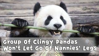 Group Of Clingy Pandas Won't Let Go Of Nannies' Legs | iPanda