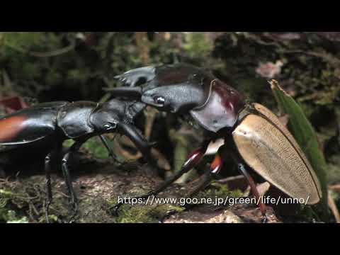 マレーシア最強のクワガタは何か Strongest stag beetle of Malaysia
