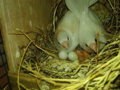 Video Cara Beternak Burung Emprit Jepang Society Finch Breeding