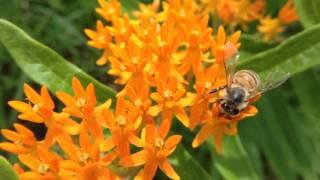 Butterfly Weed (Asclepias tuberosa) Orange Milkweed Flowers & Pollinators