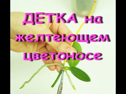 ДЕТКА орхидеи НА ЖЕЛТЕЮЩЕМ цветоносе:СРОЧНО отделяю.Phal.Equestris var.Three Lips(Эквестрис ТриЛипс)