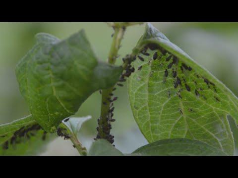Féreg infuzio parazitakbol