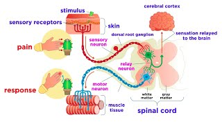 The Peripheral Nervous System: Nerves and Sensory Organs