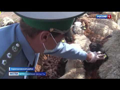 В Астраханской области Управлением Россельхознадзора проконтролирован экспорт 350 голов баранов