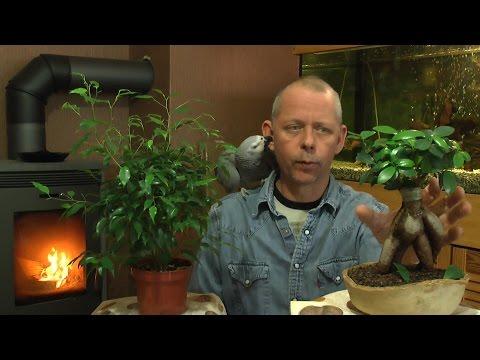 Ficus schneiden umtopfen und mehr zur Pflege