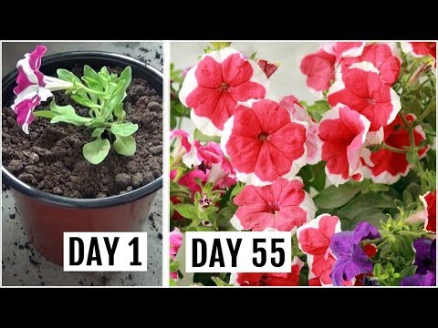 , title : 'Know The Right Way to Grow & Care for Petunia Plant