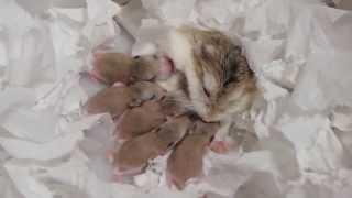 ロボロフスキーハムスターの赤ちゃん★生後0日から29日までの記録 roborovski hamster baby 햄스터 가 아기를 낳았다.