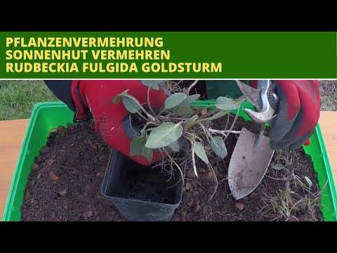 Sonnenhut selber vermehren Pflanzenvermehrung Sonnenhut (Rudbeckia)