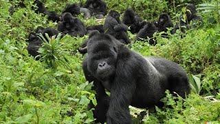 Интересные факты про горилл