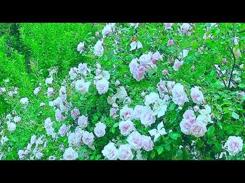Красивый футаж розы кусты роз бабочки и пение птиц