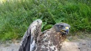 Добро пожаловать отсюда! Выпуск пострадавших  ранее птиц в природу.