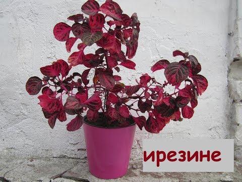 ПЕРЕСАДКА и ПОЛИВ ИРЕЗИНЫ. Это необычное комнатное растение с красными листьями