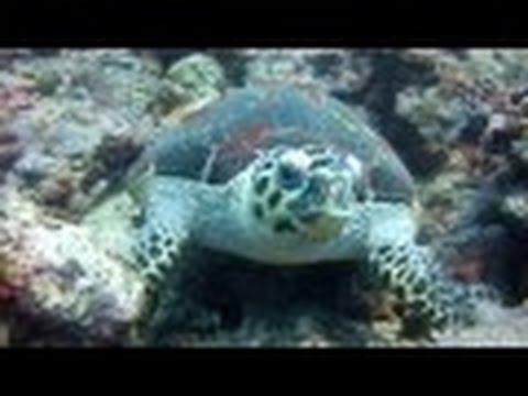 Schildkröte, Cocktail Divers Sabang Beach Mindoro,Philippinen