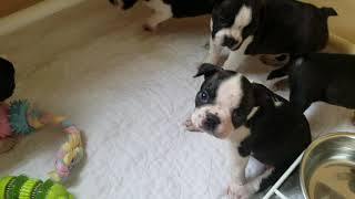 Boston Terrier Puppies Inman SC