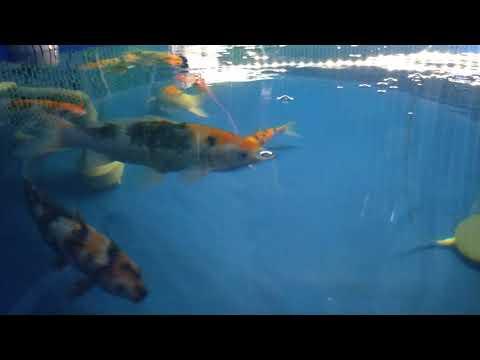 Hồ cá Koi ngày 19-01-2021 | btkoi.com